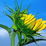 Birth Of A Sunflower By Kaye Menner Art Print