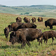 Bison Buffalo In Wind Cave National Park Art Print