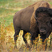 Bison Buffalo Art Print