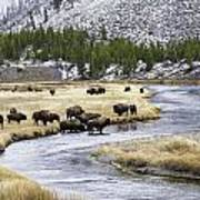 Bison By The Madison Art Print