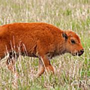 Bison Calf Grand Teton National Park Art Print