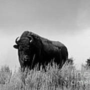 Bison Cow On An Overlook In Yellowstone National Park Black And White Art Print