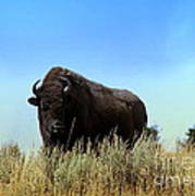 Bison Cow On An Overlook In Yellowstone National Park Art Print