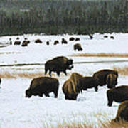 Bison Cows Browsing Art Print