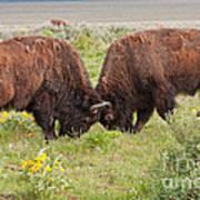 Bison Fight In Grand Teton National Park Art Print