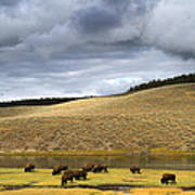 Bison Grazing Along The Yellowstone River In Hayden Valley Art Print