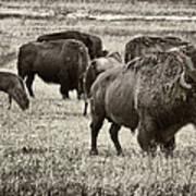 Bison Herd Bw Art Print