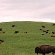 Bison Herd Art Print by Olivier Le Queinec