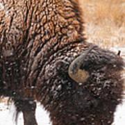 Bison In Snow_1 Art Print