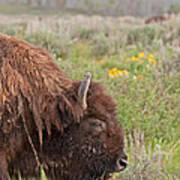 Bison In The Flowers Ingrand Teton National Park Art Print