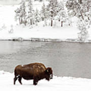 Bison In The Winter At Yellowstone Art Print