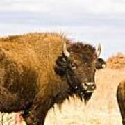 Bison On Tall Grass Iv Art Print