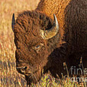Bison Potrait At Teh Elk Ranch In Grand Teton National Park Art Print