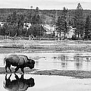Bison Reflection Art Print