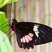 Black And Red Cattleheart Butterfly Art Print