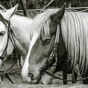 Black And White Horses. Art Print