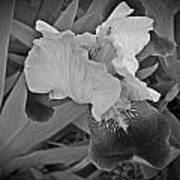 Black And White Iris Art Print