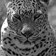 Black And White Leopard Portrait  Art Print