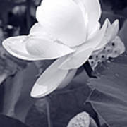 Black And White Lotus Art Print