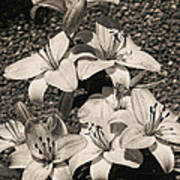 Black And White Orchids Art Print