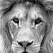 Black And White Portrait Of A Lion Art Print