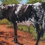 Black And White Shorthorn Steer Art Print