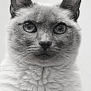 Black And White Siamese Cat Art Print