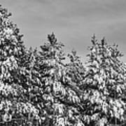 Black And White Snow Covered Trees Art Print