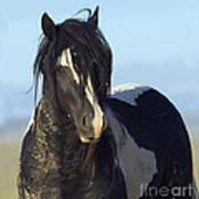 Black And White Stallion Comes Close Art Print