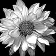 Black And White Zennia Art Print