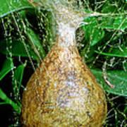 Black And Yellow Garden Spider Egg Sac Art Print