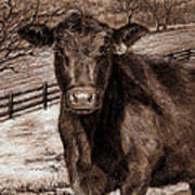 Black Angus In The Field Art Print