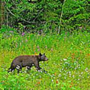 Black Bear Along Yellowhead Highway-bc Art Print