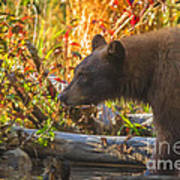 Black Bear Autumn Art Print