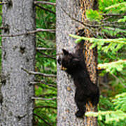 Black Bear Cub Climbing A Pine Tree Art Print