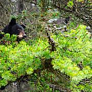 Black Bear Family In A Tree Art Print
