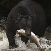 Black Bear With Salmon Art Print