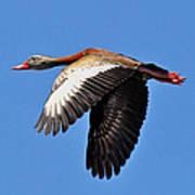 Black-bellied Whistling-duck In Flight  Art Print