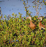 Black-bellied Whistling Ducks Art Print