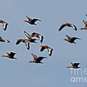 Black-bellied Whistling Ducks In Flight Art Print