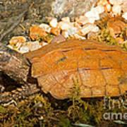 Black Breasted Leaf Turtle Art Print