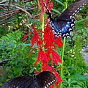 Black Butterflies Art Print