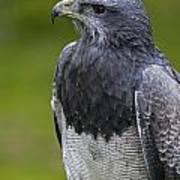 Black-chested Buzzard-eagle Art Print
