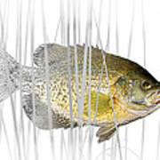Black Crappie Pan Fish In The Reeds Art Print