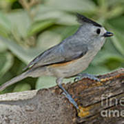 Black-crested Titmouse Art Print