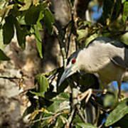 Black-crowned Heron Looking For Nesting Material Art Print