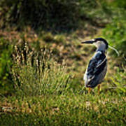 Black-crowned Night Heron At Carson Lake Wetlands Art Print