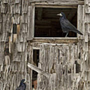 Black Crows At The Old Barn Art Print