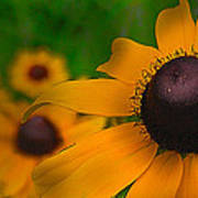 Black Eyed Susan Art Print by Brittany Perez