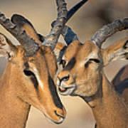 Black-faced Impalas Aepyceros Melampus Art Print